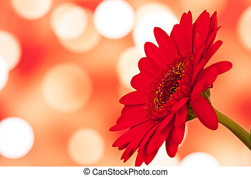 colored gerberas flowers with blur shimmer background