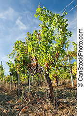 Colored grapes in the vineyard against a blue sky