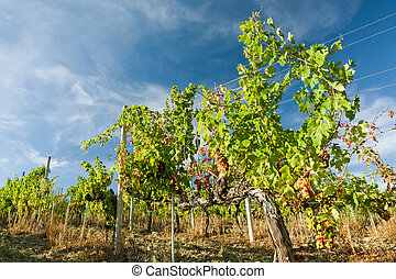 Colored grapes in the vineyard