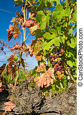 Colored grapes lit by the sun
