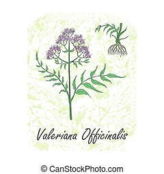 Colored Herbal Plant Valerian on the Textured Substrate made as Rounded Rectangle. Thin Paper Substrate on the White Background. Herbal Plant with the Latin Name Valeriana Officinalis.