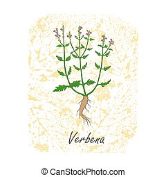 Colored Herbal Plant Vervain on the Textured Substrate made as Rounded Rectangle. Thin Paper Substrate on the White Background. Herbal Plant with the Latin Name Verbena.