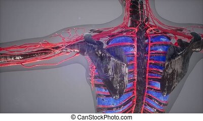 colored Human Internal organs scan