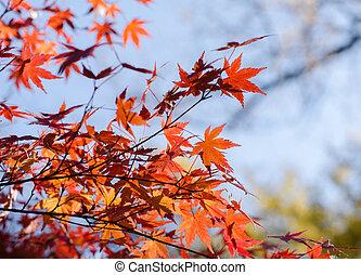 Colored Japanese maple leaf