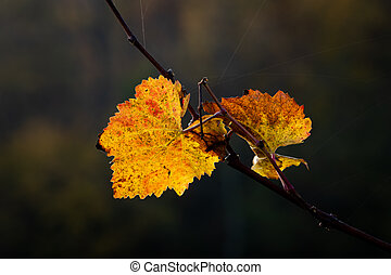 Colored leaves of a vine in autumn