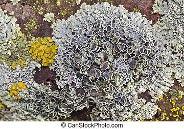 Colored lichen - Different colored lichen on the bark of a...