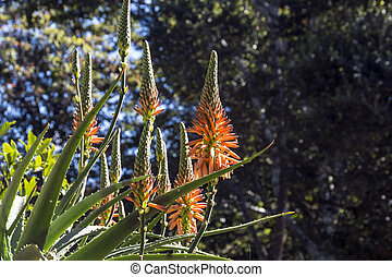 Colored Orange and Yellow Flowers of Aloe Plant