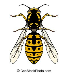 Colored sketch of a wasp with a top view on a white background. Flying insect. Vector object
