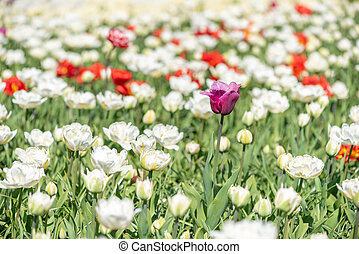 Colorful and white tulips flower bed in sunlight