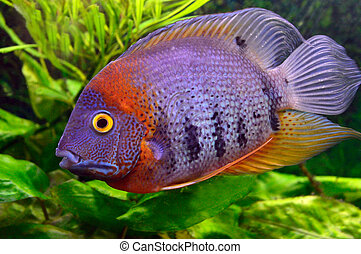 colorful aquarium fish on a background of green vegetation