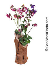 colorful aquilegia in wooden vase isolated on white