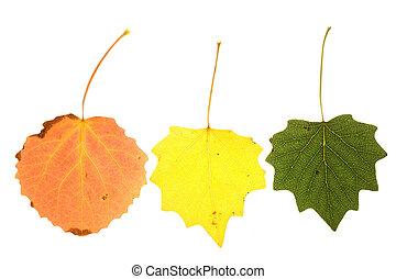 colorful aspen leaves - aspen leaves on isolated