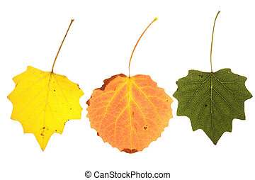 colorful aspen leaves on isolated