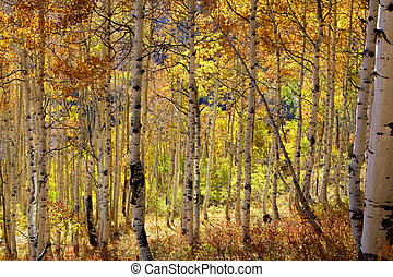 Aspen trees - Colorful Aspen trees in autumn time