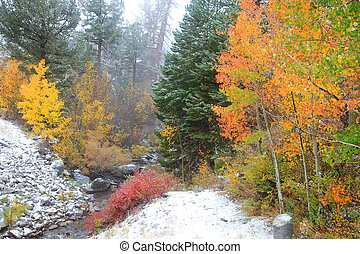 Colorful Aspens in snow