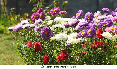 Colorful  Aster