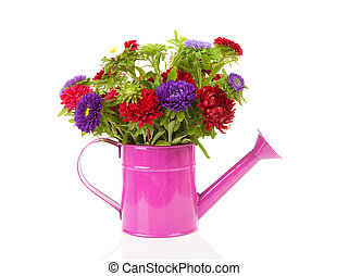 colorful Asters flowers in pink watering can