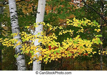 Birch Tree Branch Closeup