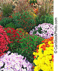 Colorful autumn chrysanthemums