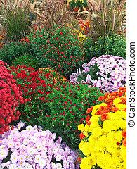 Colorful autumn chrysanthemums