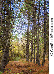 autumn coniferous forest with tall pine trees