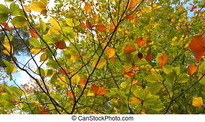Colorful autumn, fall foliage leaves from bottom on treetop
