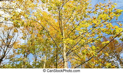 Colorful autumn, fall foliage leaves on maple treetop