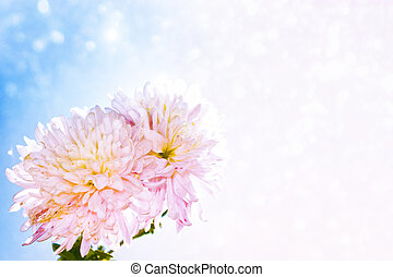 Colorful autumn flowers of chrysanthemum