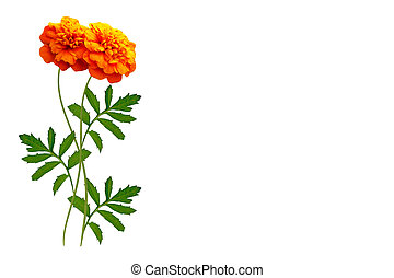 Colorful autumn flowers of marigold
