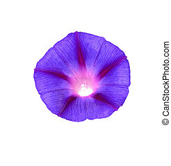 Colorful autumn flowers of morning glory