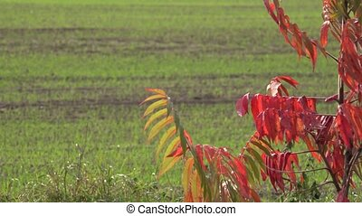 Colorful autumn leaves and agriculture winter crop field. Focus change.