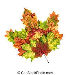 Colorful autumn leaves arranged as a single maple leaf