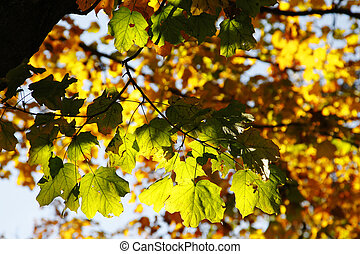 Colorful Autumn Leaves in Trees - Seasonal image of...
