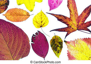 Colorful autumn leaves on a white background