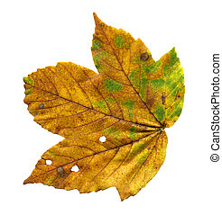 Colorful autumn maple leaf isolated