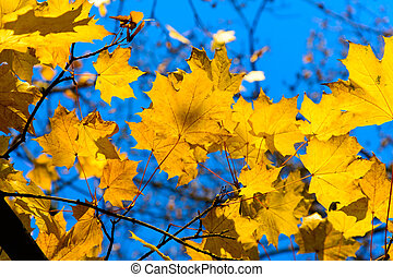 Colorful autumn maple leaves at sunset
