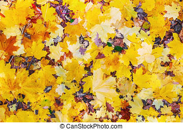 colorful autumn maple leaves background.