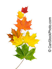 Colorful autumn maple leaves on a white background.