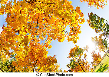 Colorful autumn maple trees in October day
