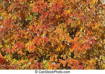 Colorful autumn rowan tree