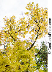 Colorful autumn tree with yellow leaves. View up.
