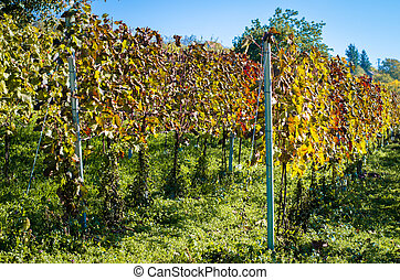 colorful autumn vineyard