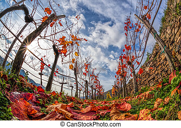 Colorful autumn Vineyard in Wachau valley in Austria.