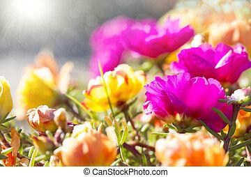 colorful background of bright flowers Portulaca grandiflora