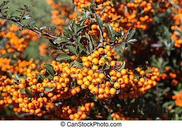 Background with ripe Rowan berries, Mountain ash or Sorbus tree