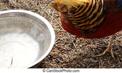 Colorful beautiful bird - golden pheasant or Chinese...