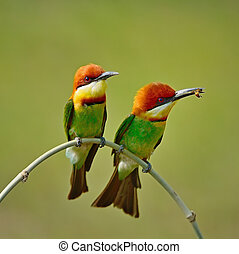 Chestnut-headed Bee-eater - Colorful Bee-eater bird, ...