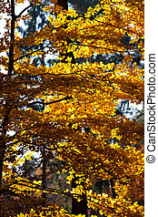 colorful beech leaves in autumn