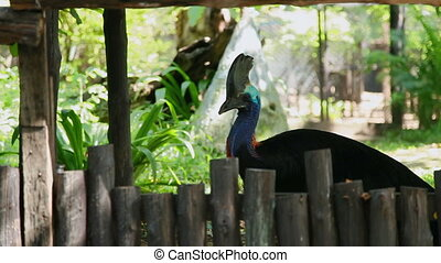 Colorful bird cassowary (Casuarius) behind the wooden fence,...