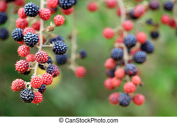 colorful blackberry